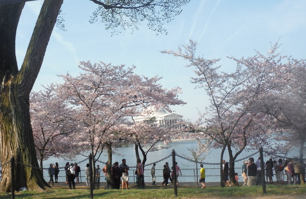 cherry blossoms 2014 tidal basin jefferson memorial