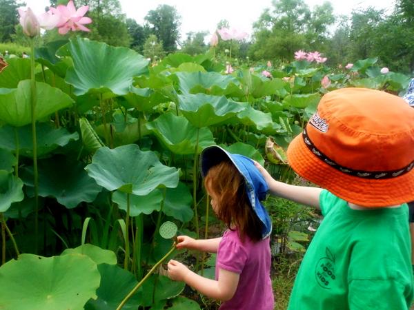 Kenilworth Aquatic Gardens children looking at lotus
