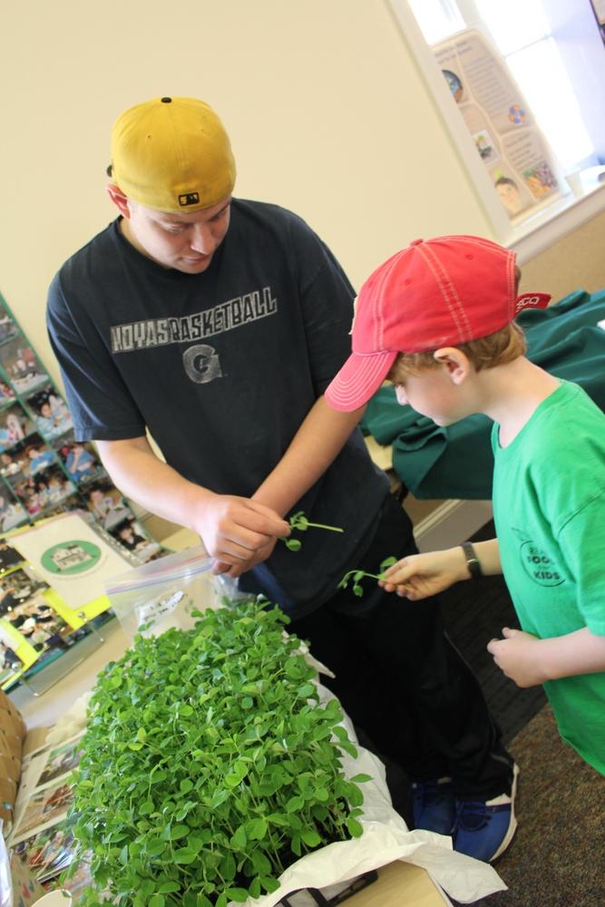 2015 Growing Green Schools in Arlington - pea shoots