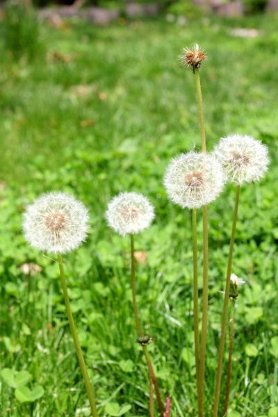 family of dandelions