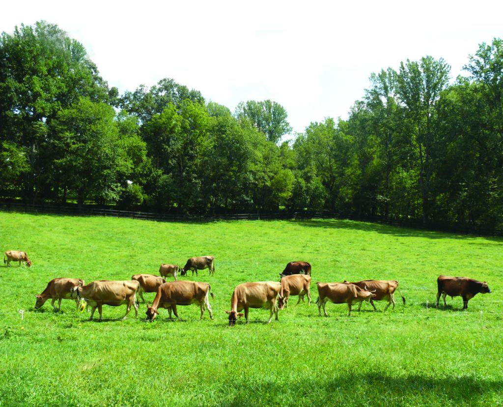 PA Bowen Farmstead cows