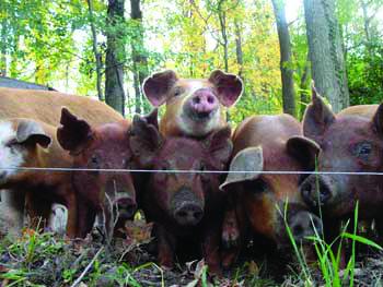 PA Bowen Farmstead pigs