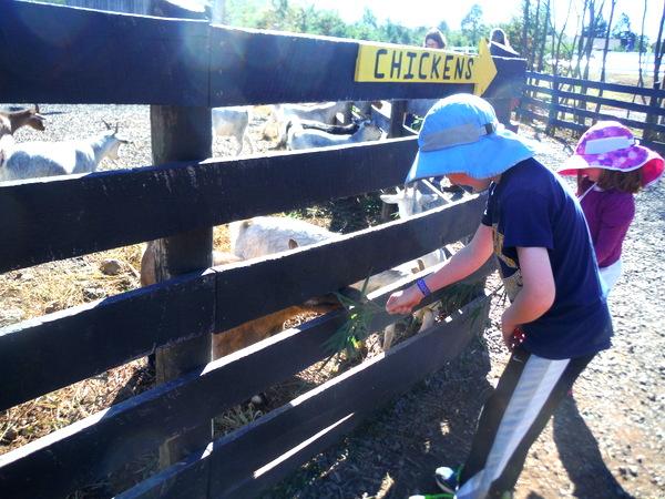 Ticonderoga Farms goats