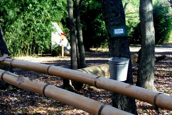Ticonderoga Farms maple tree
