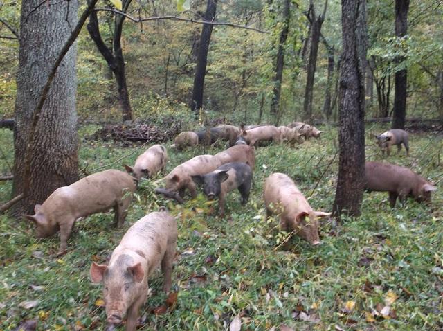 Whiffletree Farm pigs