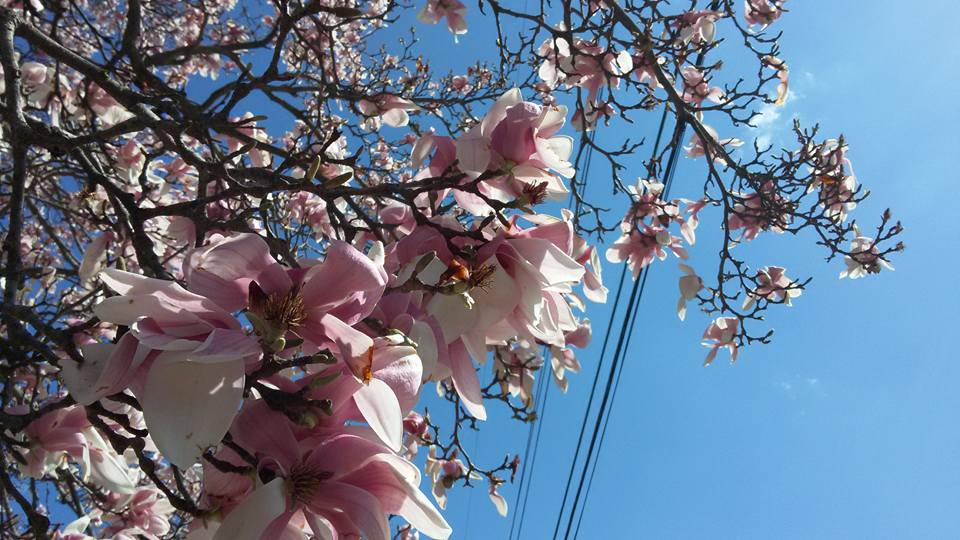 Magnolia blooms in DC metro during allergy season.